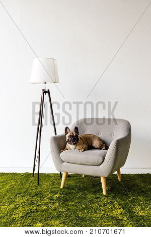 french bulldog lying on a gray armchair in a room with lamp and green fuzzy carpet
