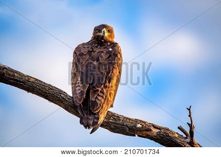 Steppe eagle or Aquila nipalensis pearching on a tree branch