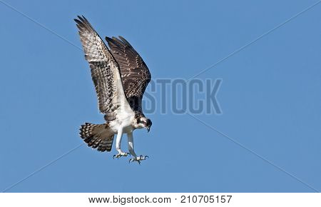 An Osprey prepares to strike on its prey