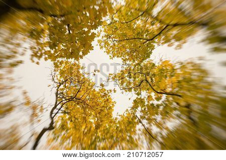 October sunny day, golden crown of trees from below upwards. Outgoing perspective of trunks in sky. Abstract blurred autumn background