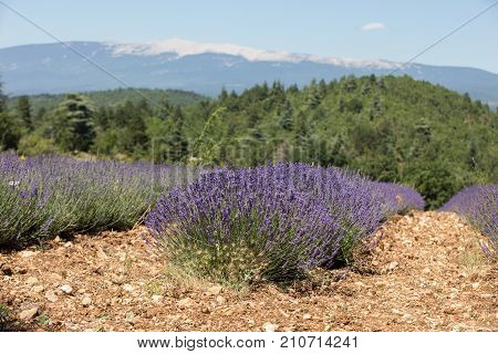 Lavender field near Sault and Mont Ventoux in the background. Provence France