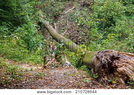 A fallen tree in the Hoh rain forest is decaying and recycling its nutrients.