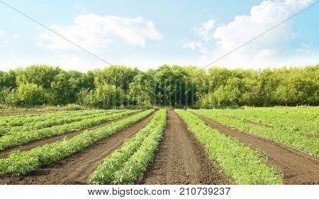 Beds of tomato bushes on plantation in sunny day