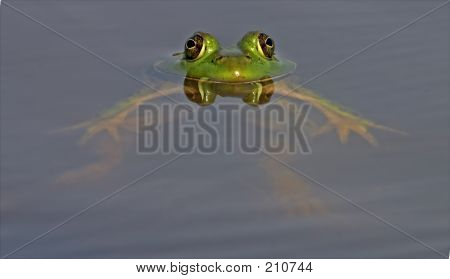 Floating Bull Frog With Eyes Reflected On Calm Water's Surface