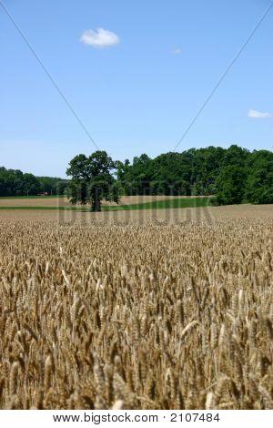 Wheat Field - New Jersey
