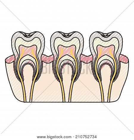 teeth with nerve and tooth root view in colored crayon silhouette vector illustration