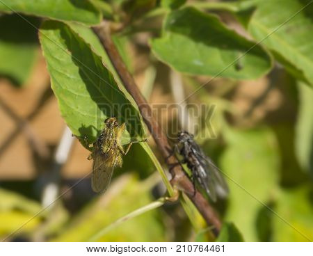 Macro Yellow Dung Fly Or The Golden Dung Fly Scathophaga Stercoraria In Green Leaves