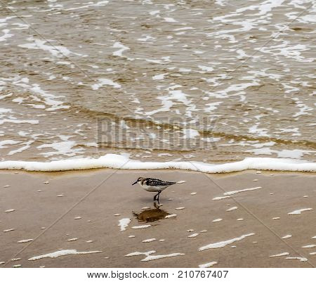 A sandpiper looks for food as the waves roll in and out on a sunny summer morning at Fire Island National Sea Shore on Long Island