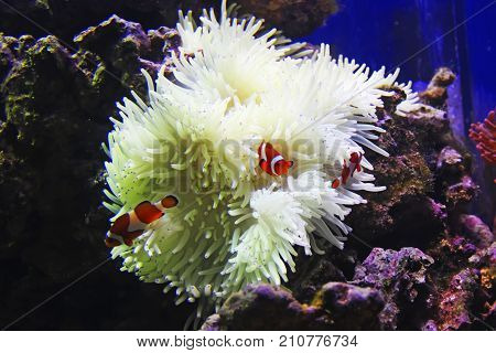 three clownfish and white sea anemone on the coral