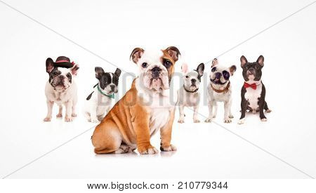english bulldog puppy leading a team of french bulldogs on white background