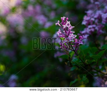 Close-up of beautiful purple Flowers in Sunlight. View on beautiful little Flowers in Spring. Blooming Flowers. Garden Flowers. Flower and Nature Background.