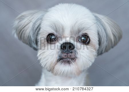 Cute shih-tzu dog close-up portrait. Focus on nose.