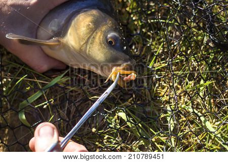 Angler's hands pull the hook from the carp's lip using the pliers