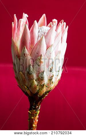 Pink king protea flower (Protea cynaroides sugarbush suikerbos) represents in South African tradition change and hope