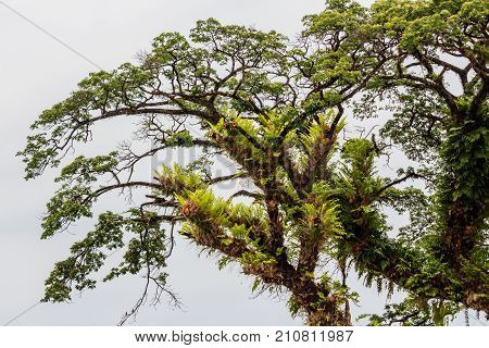 Big Ancient tropical rain tree in Thailand poster
