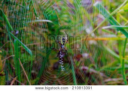 Spider Garden-spider Araneus Type Of Spider Araneomorphae From The Spider Family