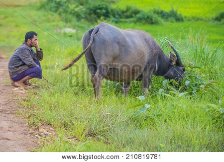 SHAN STATE MYANMAR - SEP 06: Burmese shepherd in a pasture with a buffalo in Shan state Myanmar on September 06 2017 agriculture is the main industry in Myanmar
