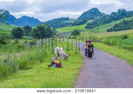 SHAN STATE MYANMAR - SEP 06: Burmese shepherd in a pasture with a cow in Shan state Myanmar on September 06 2017 agriculture is the main industry in Myanmar