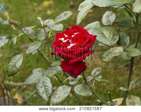 Delicate Red Roses In A Flower Bed Covered With Fresh Snow