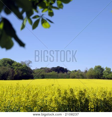 Rapeseed Crop And Blue Sky