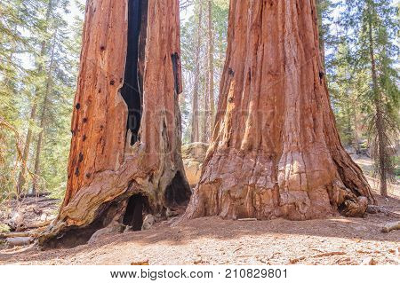 A Giant Sequoia in the General Grant Grove, Kings Canyon National Park