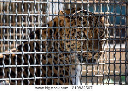 Close up endangered Amur Leopard or Panthera pardus orientalis in captivity