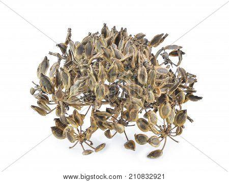 dried heracleum siamicum craib (Heracleum Barmanicum Kurz) tropical herb isolated on white background