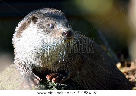Eurasian otter Lutra lutra, also known as the European, Eurasian river, common and Old World otter.