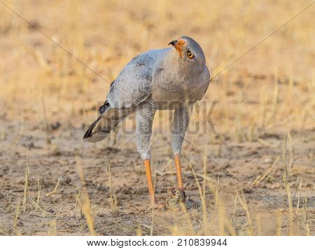 A Pale Chanting Goshawk with prey in the Kgalagadi Transfrontier Park which straddles South Africa and Botswana.
