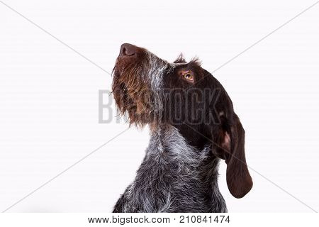 portrait of a hunting dog draathaar kurtshaar in profile isolated on white background only head rub in the side