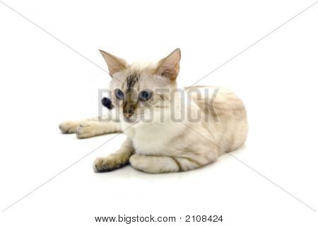 White bengal cat Isolated over white background poster
