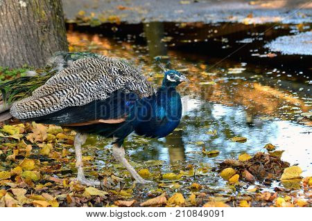 Peacock walking in wet autumn park. Yellow leaves and puddle on the ground.
