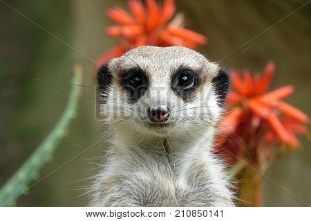 A meerkat on guard duty at the zoo with an orange tropical flower in background