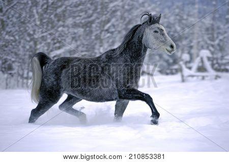 Gray dapple Arabian Mare running in fresh snow at winter pasture.