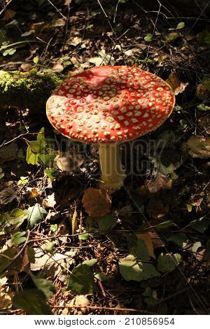 Autumn fly agarics in the wild forest