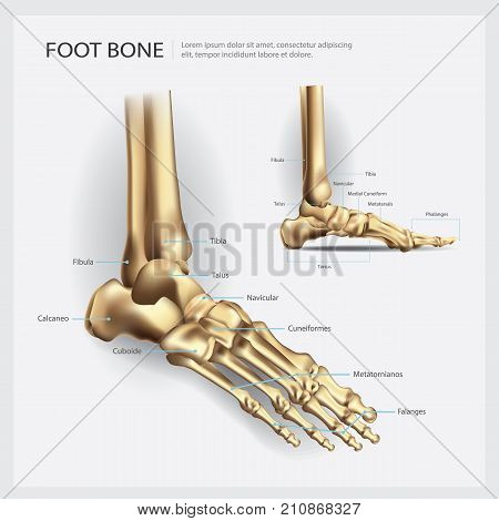 Foot Bone Human Anatomy Realistic Vector Illustration