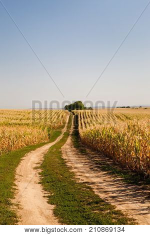 Country road between fields with ripening fodder maize and clear blue sky