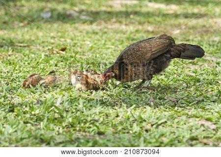 Bantam in nature, Red junglefowl (Gallus gallus)