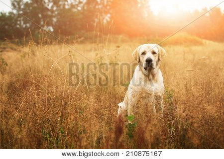 Beautiful Labrador In Autumnal Field