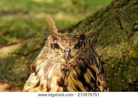 Eagle-owl (bubo Bubo) With Blurred Background