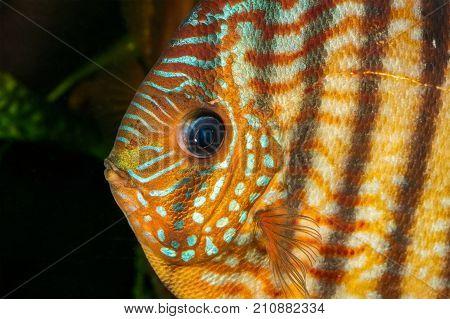 Portrait of a brown discus fish (Symphysodon)