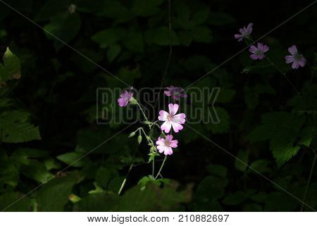 The flower of some geranium (wood or caucasian cranesbill) illuminated by a bright sunbeam against the background of dark thickets