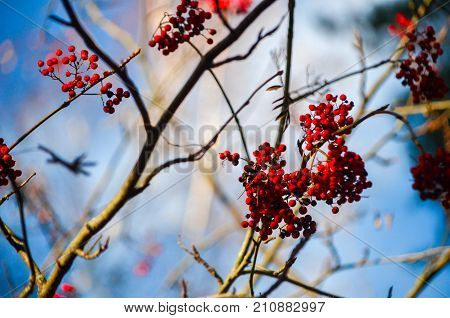 Autumn rowan tree with blue sky at background