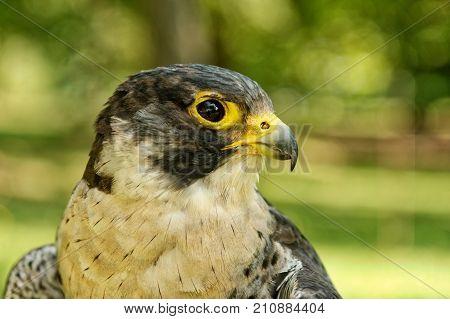Peregrine Falcon (falco Peregrinus) With Blurred Background