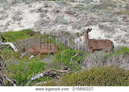 Two California mule deer (Odocoileus hemionus californicus) on sand dunes in the natural preserve of Asilomar State Beach in Pacific Grove near Monterey
