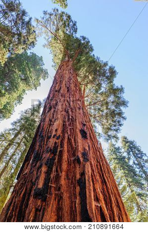 Impression of a giant sequoia Tree in the General Sherman grove in Sequoia National Park, California, USA.