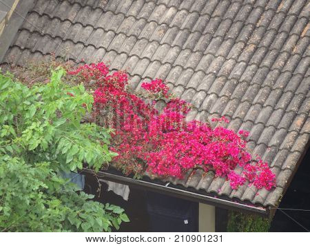 Branches with pink flowers growing on the house's roof