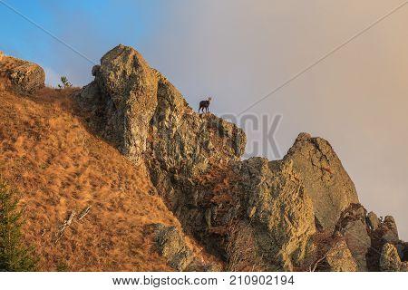 chamois (Rupicapra Carpatica) on mountain. Cozia Mountains Romania