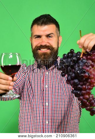 Vintner Shows Harvest. Man With Beard Holds Bunch Of Grapes
