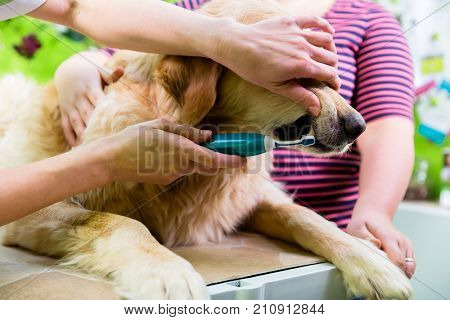 Big dog getting dental care by grooming woman at dog parlor